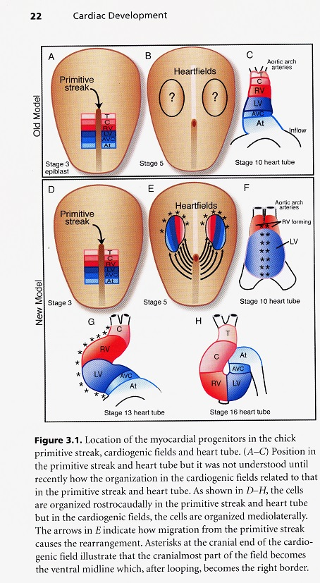 Embryology Of The Heart Michael Shea Teaching